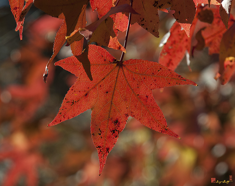 Fall Sweetgum Leaves Photograph