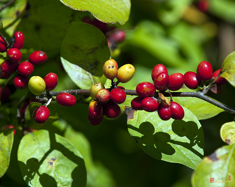 Spicebush Berries Photograph
