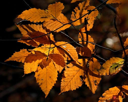 American Beech Leaves Photograph